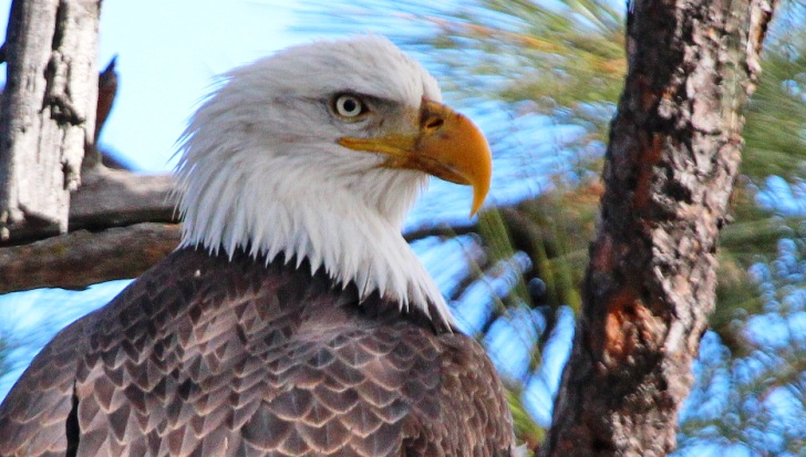 American Eagle photographed at Pine Mountain Lake by Dick Davis