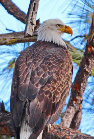 American Eagle roosting at Pine Mountain Lake - photo by Dick Davis