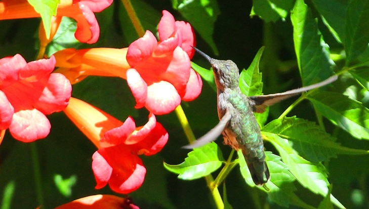 Pine Mountain Lake Hummingbird - photo by Dick Davis