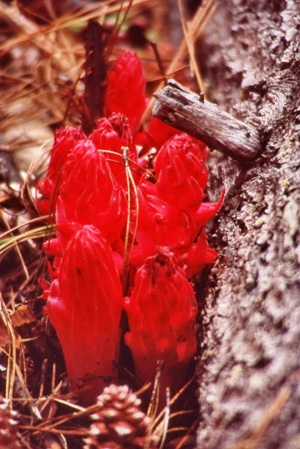 Snow Plant - photo by Dick Davis