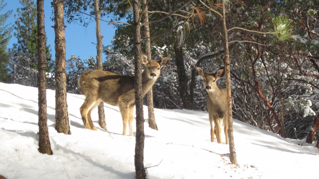 Pine Mountain Lake Deer