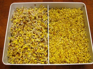 Sprouting Tray with Radish and Mustard Seeds, Day 5