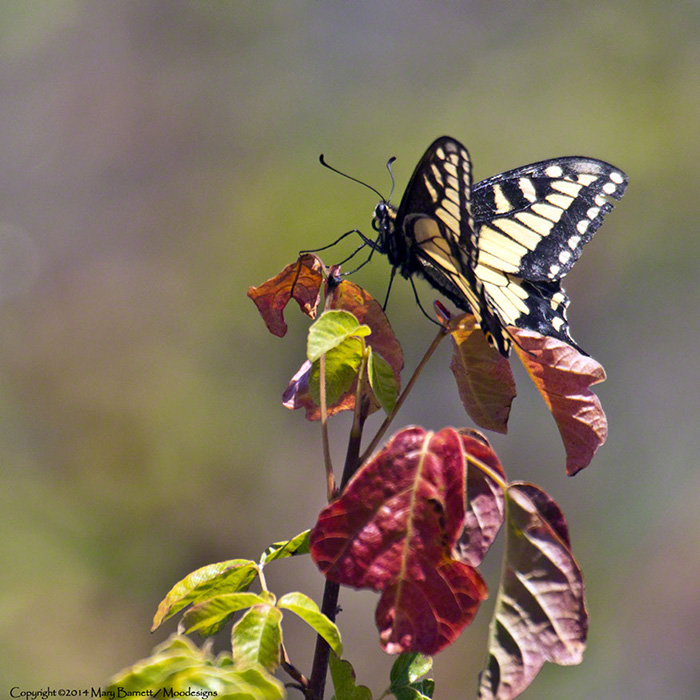 Swallowtail Butterfly on Poison Oak Image by Mary Barnett, Moodesigns.com