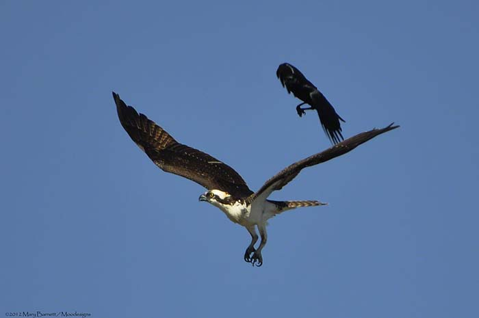 American Crow and Osprey Image by Mary Barnett, Moodesgins.com