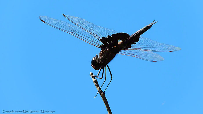 Dragonfly Image by Mary Barnett, Moodesigns.com