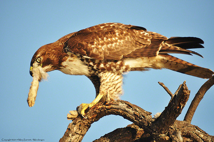 Red-tailed Hawk Eating Hare's Leg Image by Mary Barnett, Moodesigns.com