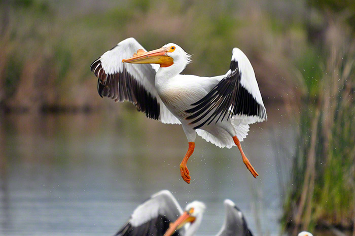 American White Pelican Image by Mary Barnett, Moodesigns.com
