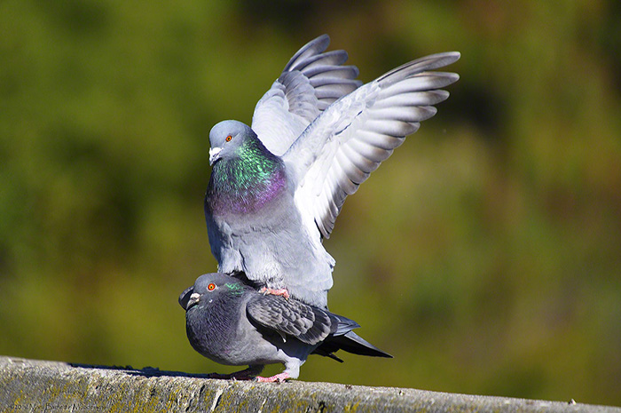 Mating Rock Doves Image by Mary Barnett, Moodesigns.com