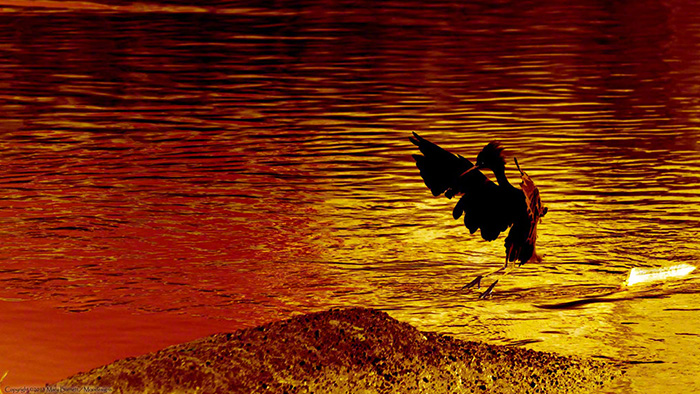 Snowy Egret at sunset Image by Mary Barnett, Moodesigns.com